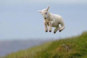 oveja-saltando-curiosa